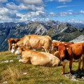 Cows, hiking slovenia, triglav national park