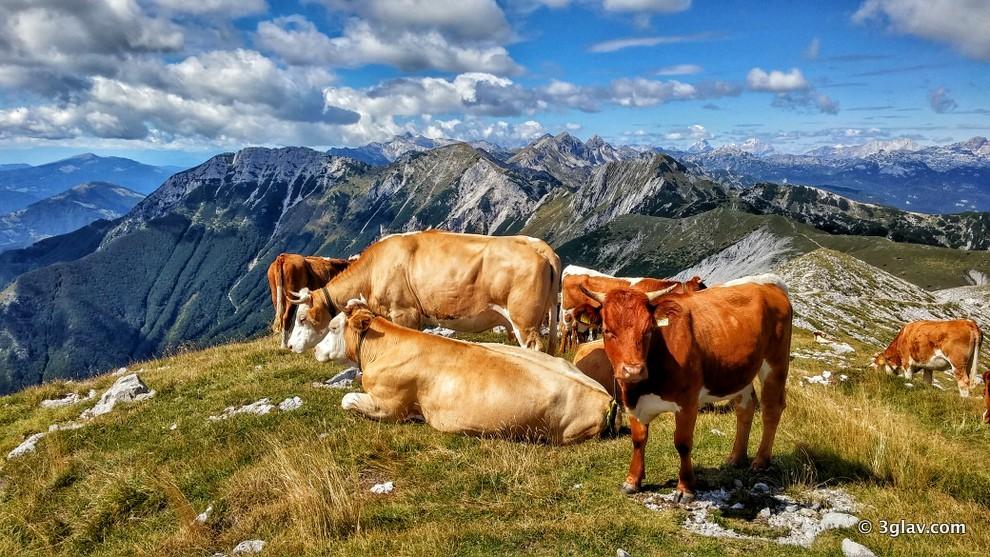Cows, hiking slovenia, triglav national park