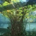Underwater lillies, Bled Lake, Slovenia
